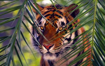 Animal - Tiger Wallpapers and Backgrounds ID : 165611