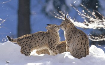 Animal - Lynx Wallpapers and Backgrounds ID : 166893