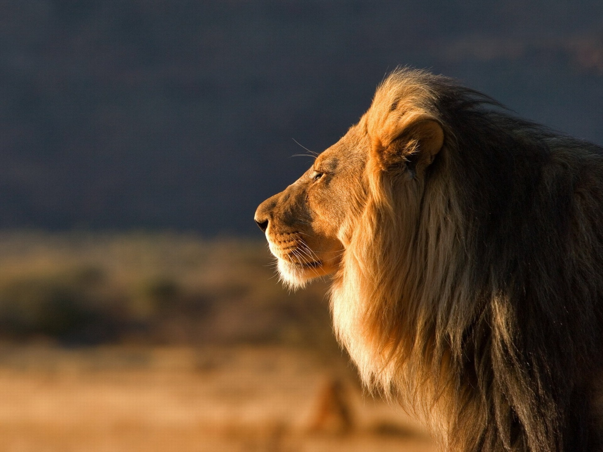 Lion Full HD Wallpaper And Background Image