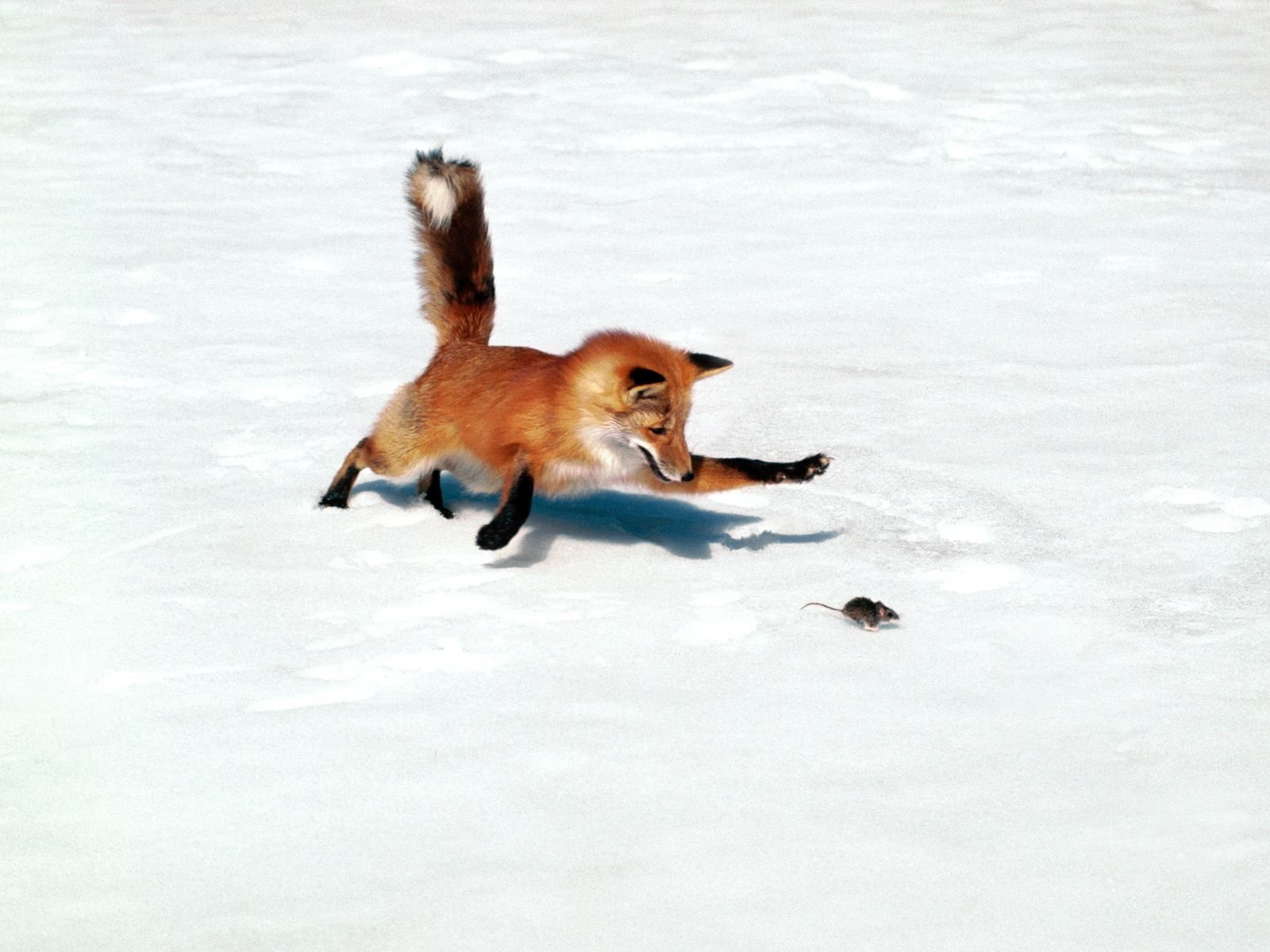 Animal - Fox  Mouse Hunting Animal Snow Wallpaper