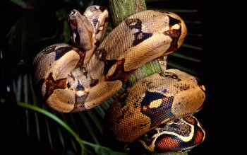 Animal - Snake Wallpapers and Backgrounds ID : 172313