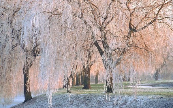 Earth Tree Trees Winter Weeping Willow Frost White HD Wallpaper | Background Image