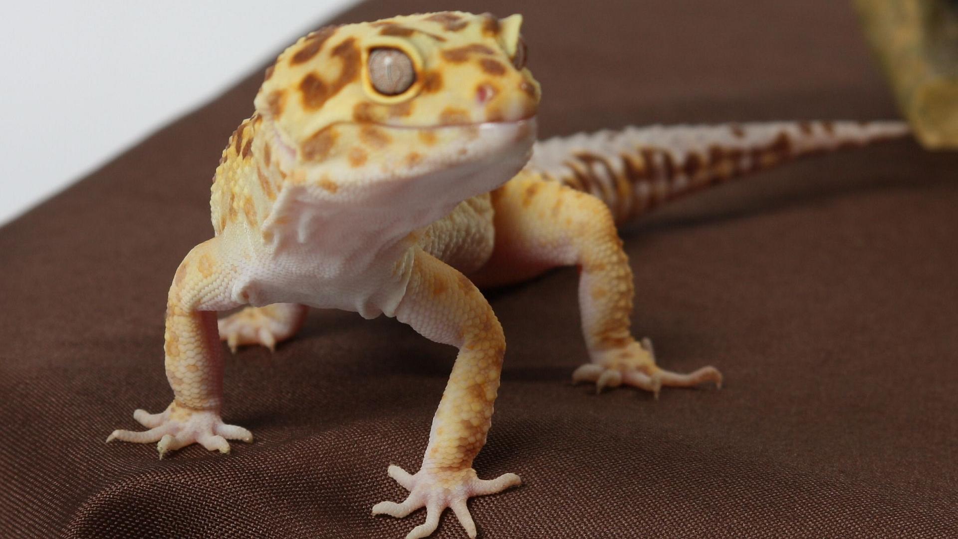 3840x2160 wallpaper lizard gecko - photo #27