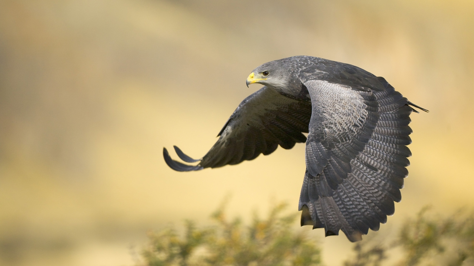Hawk hd wallpaper background image 1920x1080 id - Hawk iphone wallpaper ...
