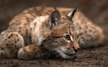 Animal - Lynx Wallpapers and Backgrounds ID : 177053