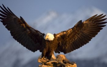 Animal - Eagle Wallpapers and Backgrounds ID : 179251