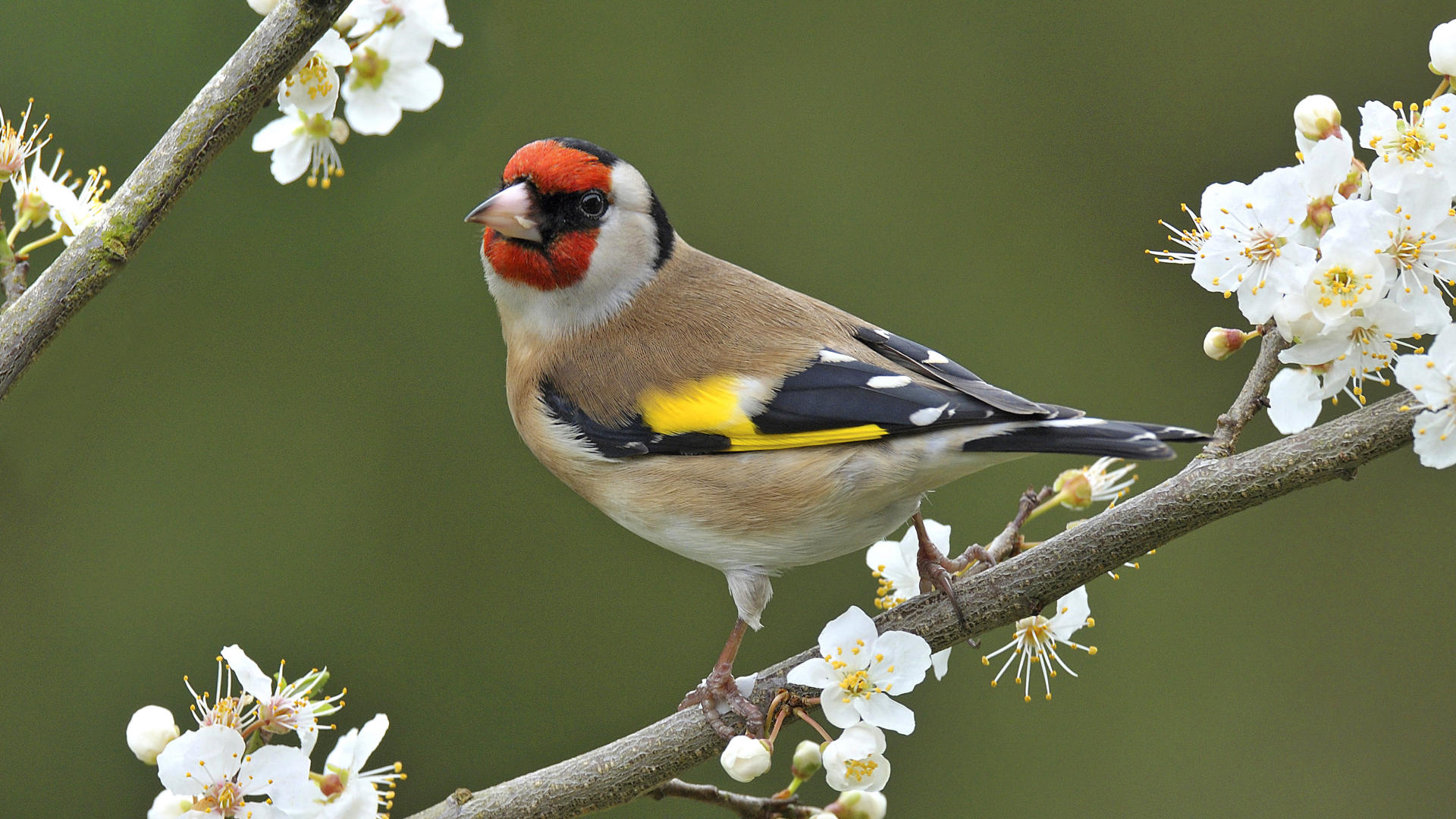 goldfinch full hd wallpaper and background image | 1920x1080 | id:180251