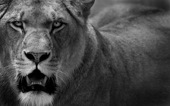 Animalia - León Wallpapers and Backgrounds ID : 183983