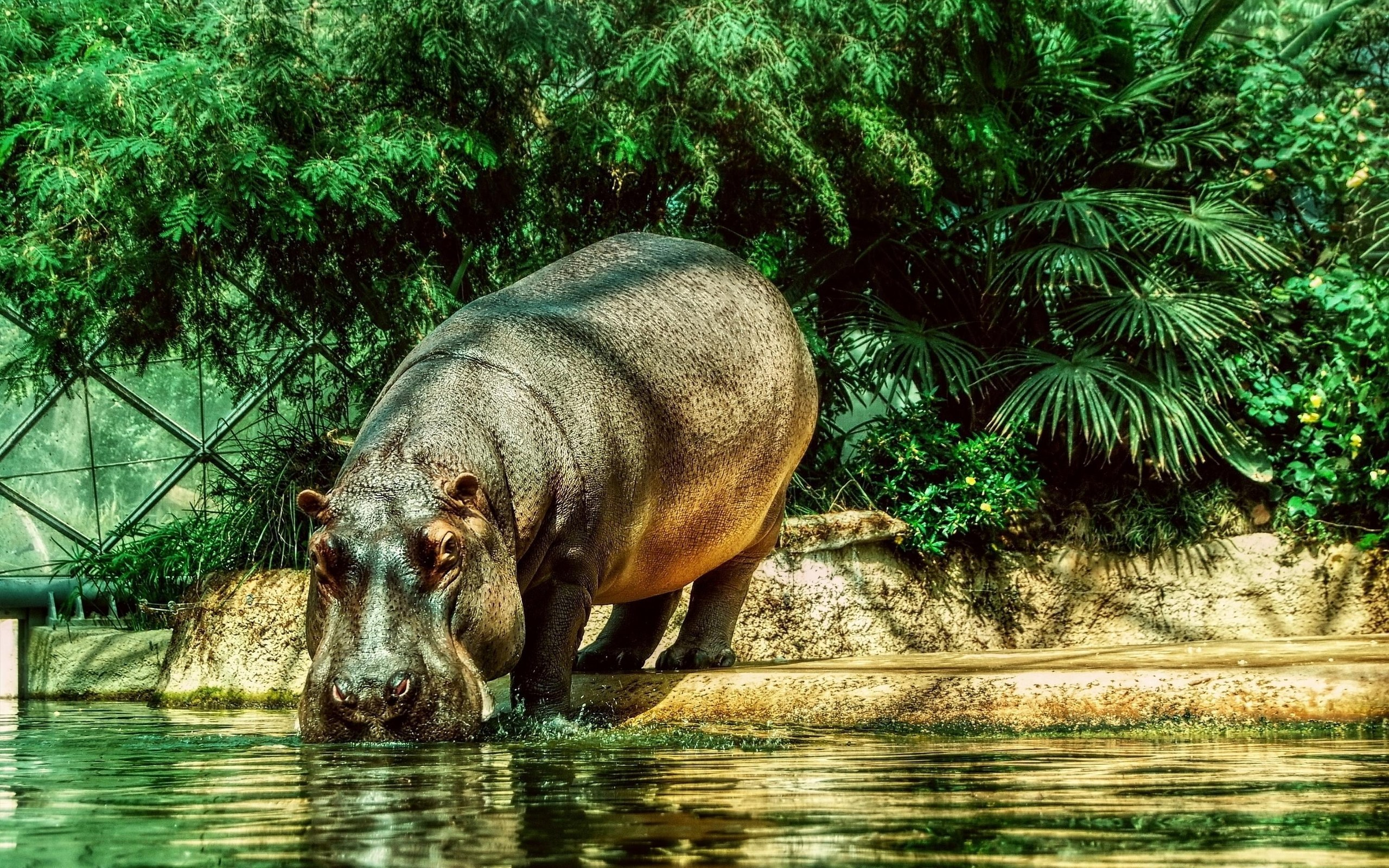 Hippo HD Wallpapers Backgrounds Wallpaper