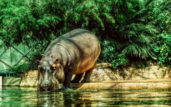Animal - Hippo Wallpapers and Backgrounds ID : 184623