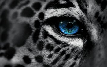 Animal - Leopard Wallpapers and Backgrounds ID : 184801
