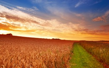 Earth - Wheat Wallpapers and Backgrounds ID : 185573