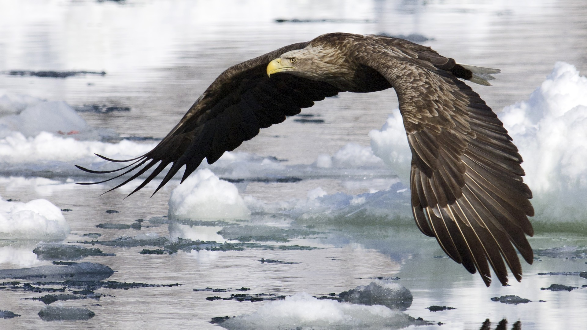 9 White-Tailed Eagle HD Wallpapers