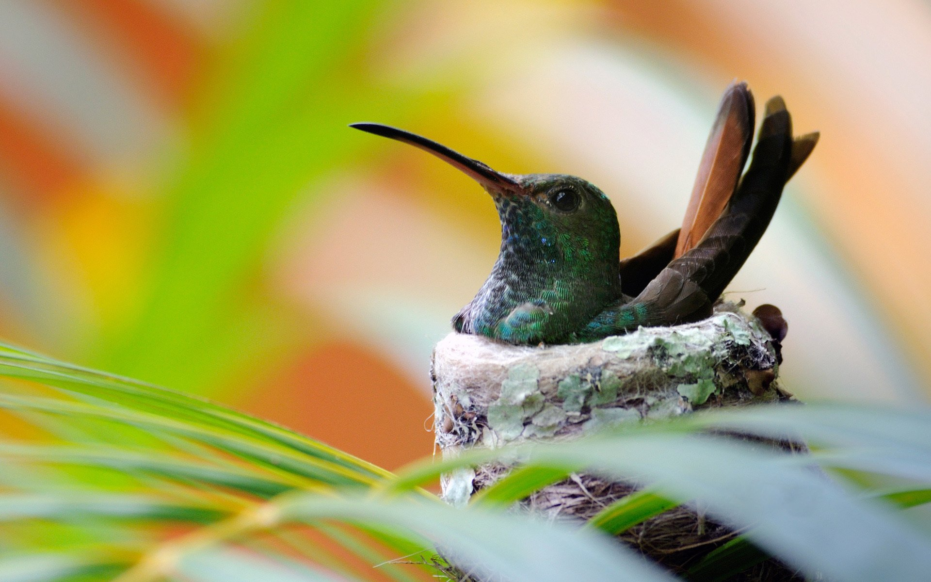 Animal - Bird  Hummingbird Nest Wallpaper