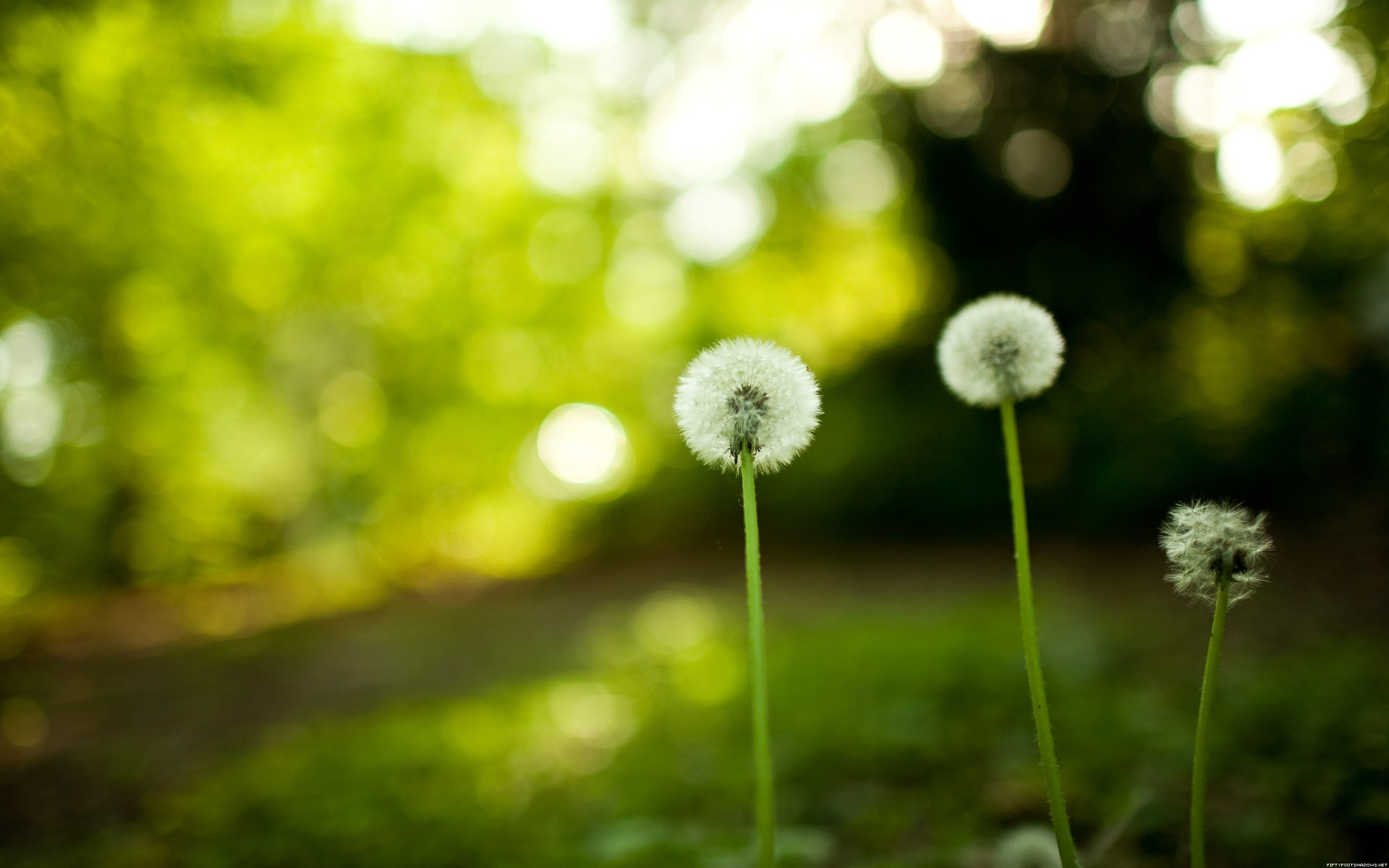 Earth - Dandelion  Wallpaper