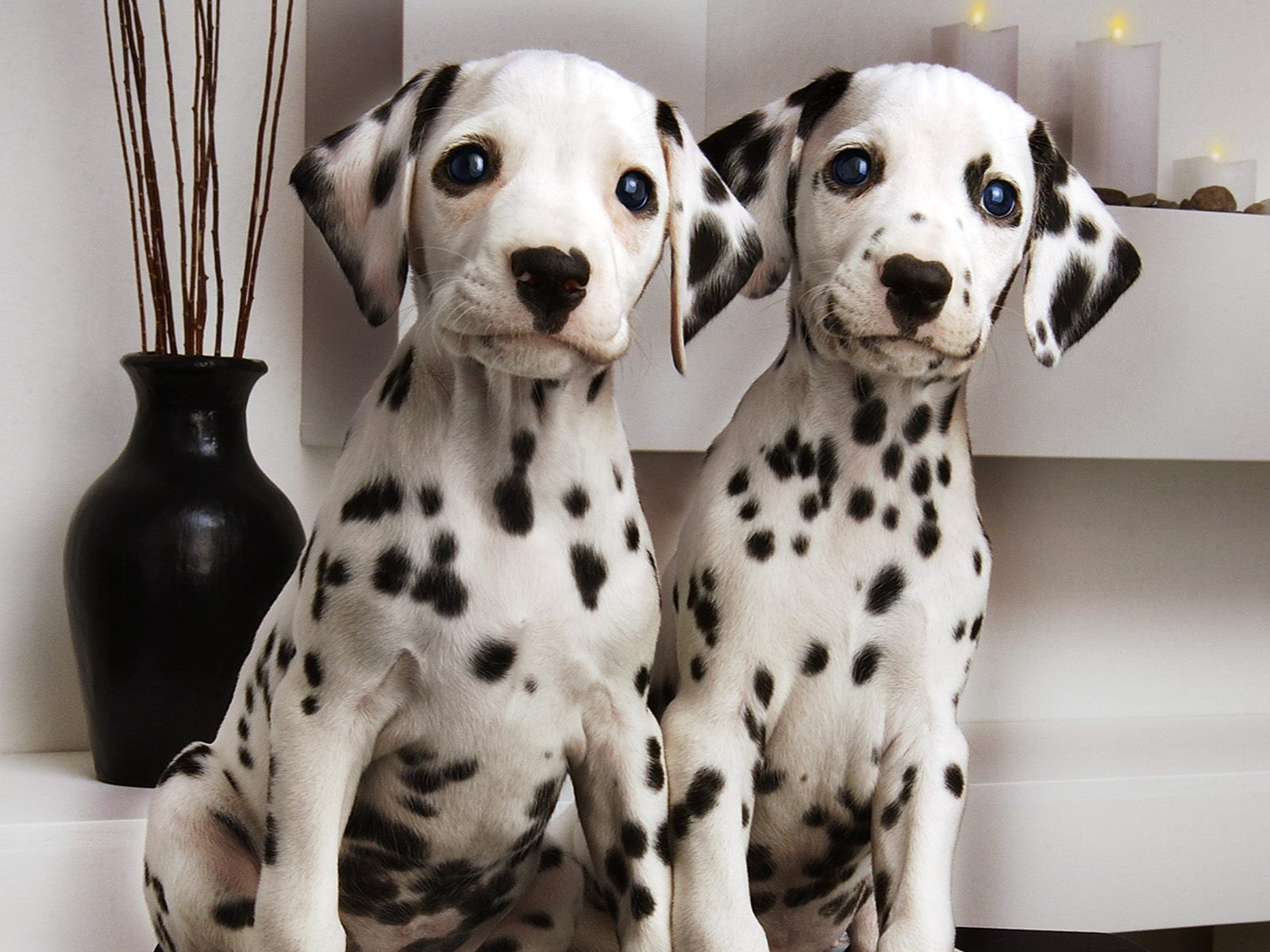 Dalmatian Wallpaper And Background Image