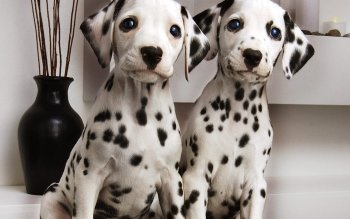 Animal - Dalmatian Wallpapers and Backgrounds ID : 205033