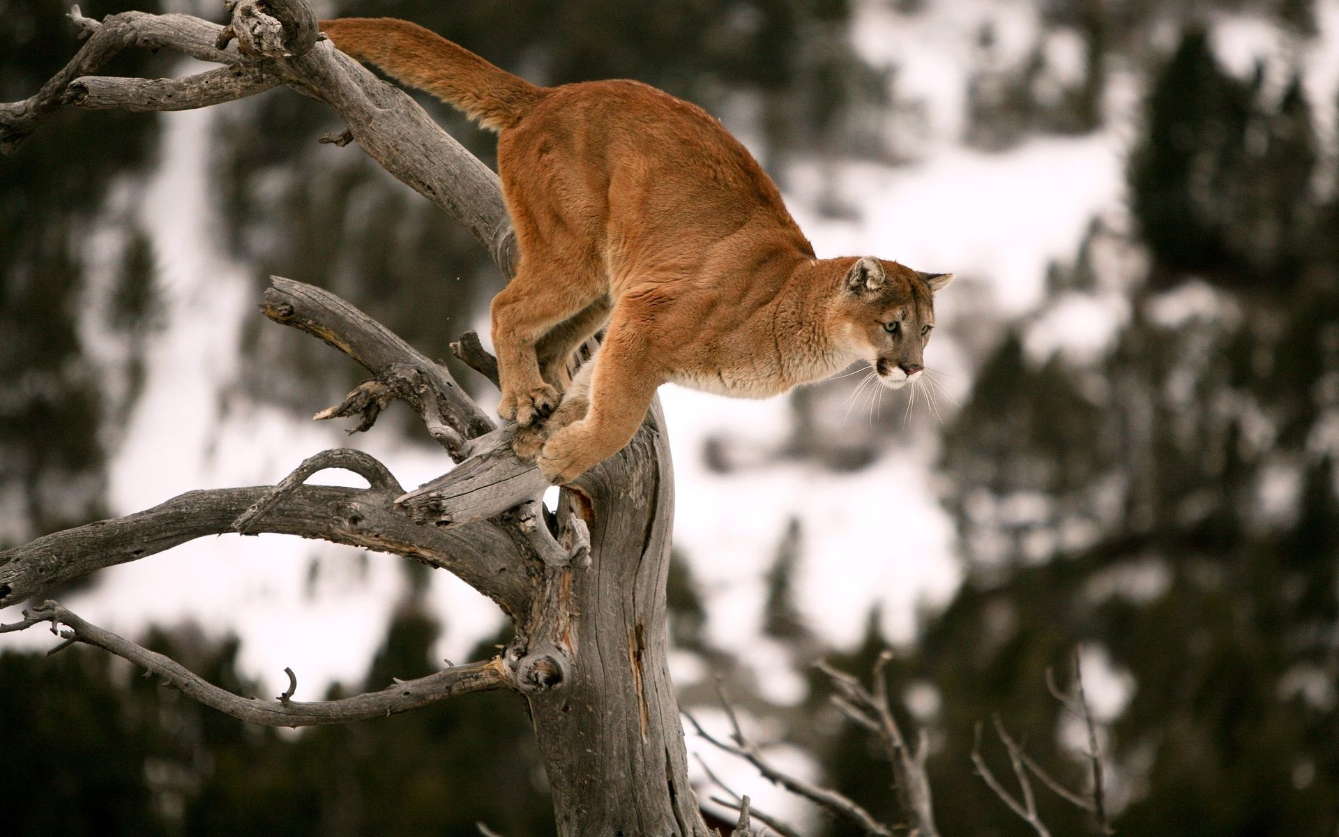 cougar full hd wallpaper and background image | 1920x1200 | id:207833