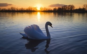 Animal - Swan Wallpapers and Backgrounds ID : 207583
