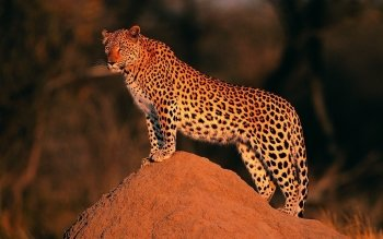 Animal - Leopard Wallpapers and Backgrounds ID : 210261