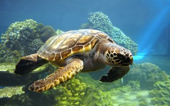 Animal - Turtle Wallpapers and Backgrounds ID : 212191