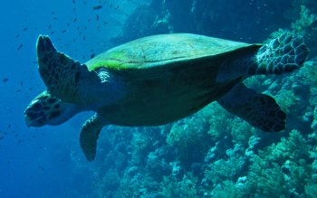 Animal - Turtle Wallpapers and Backgrounds ID : 216243