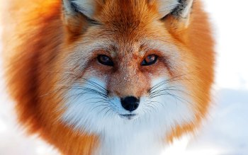 Animal - Fox Wallpapers and Backgrounds ID : 216411