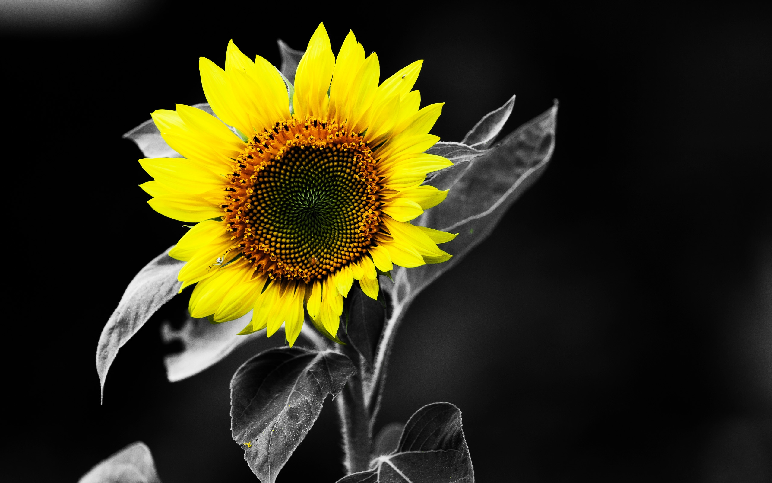 Sunflower HD Wallpaper