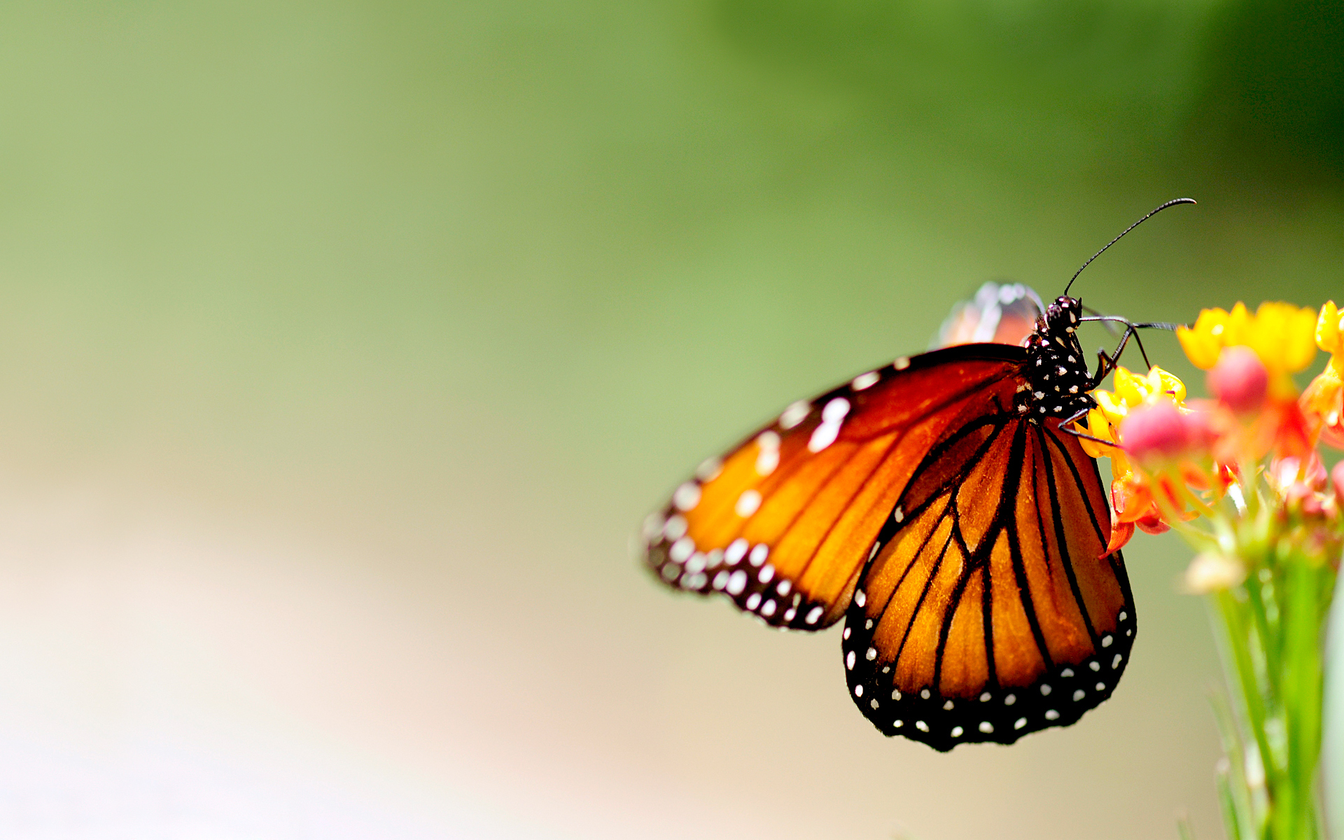 Butterfly HD Wallpaper | Background Image | 1920x1200 | ID ...