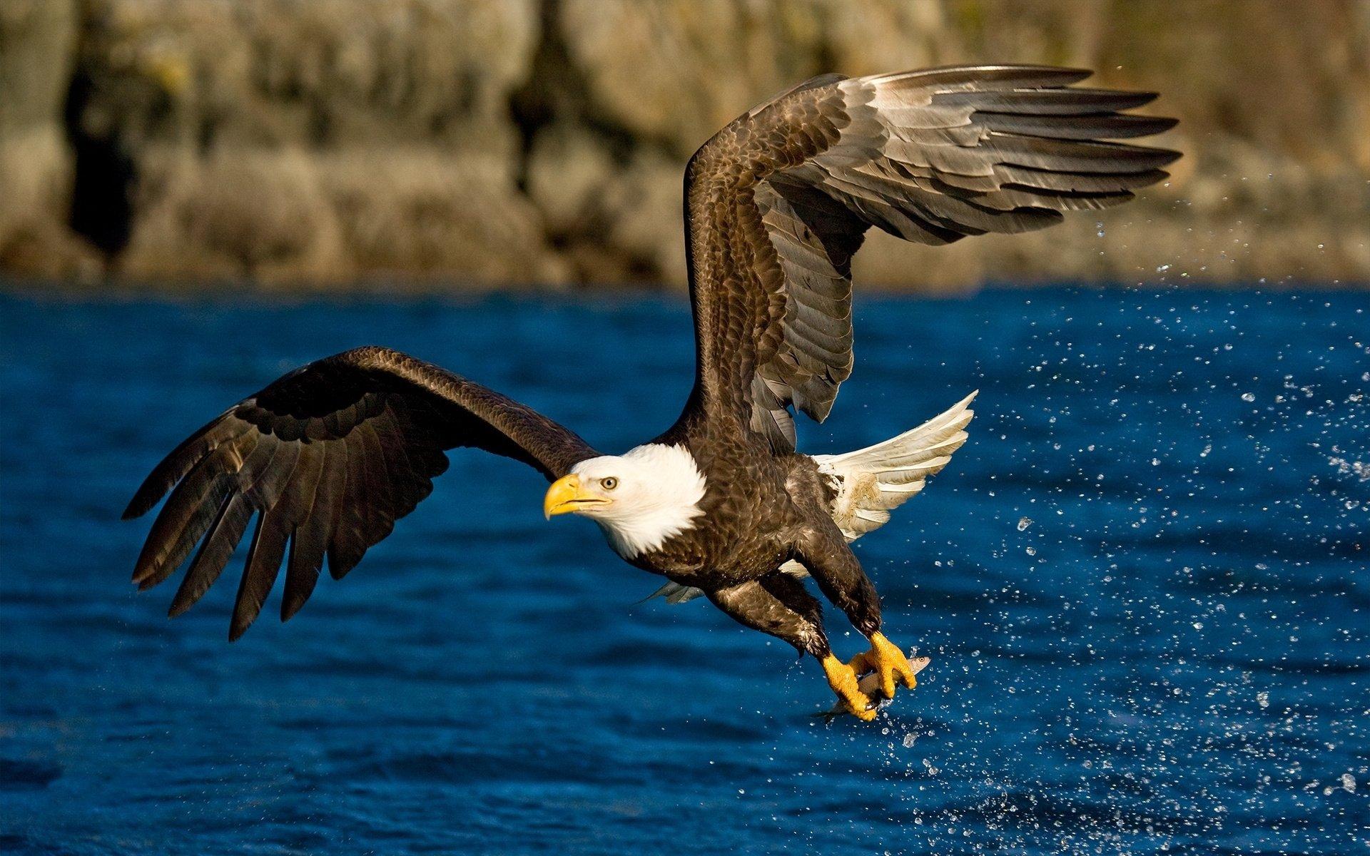 Animal - Bald Eagle  Wallpaper