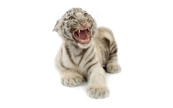 Animal - White Tiger Wallpapers and Backgrounds ID : 225901