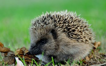 Animal - Hedgehog Wallpapers and Backgrounds ID : 227313