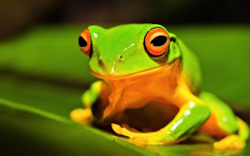 Animal - Frog Wallpapers and Backgrounds ID : 228771