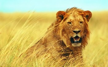 Animal - Lion Wallpapers and Backgrounds ID : 230251