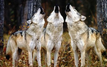 Animal - Wolf Wallpapers and Backgrounds ID : 230793