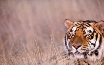 Animalia - Tiger Wallpapers and Backgrounds ID : 231313