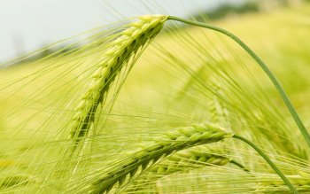 Earth - Wheat Wallpapers and Backgrounds ID : 232223