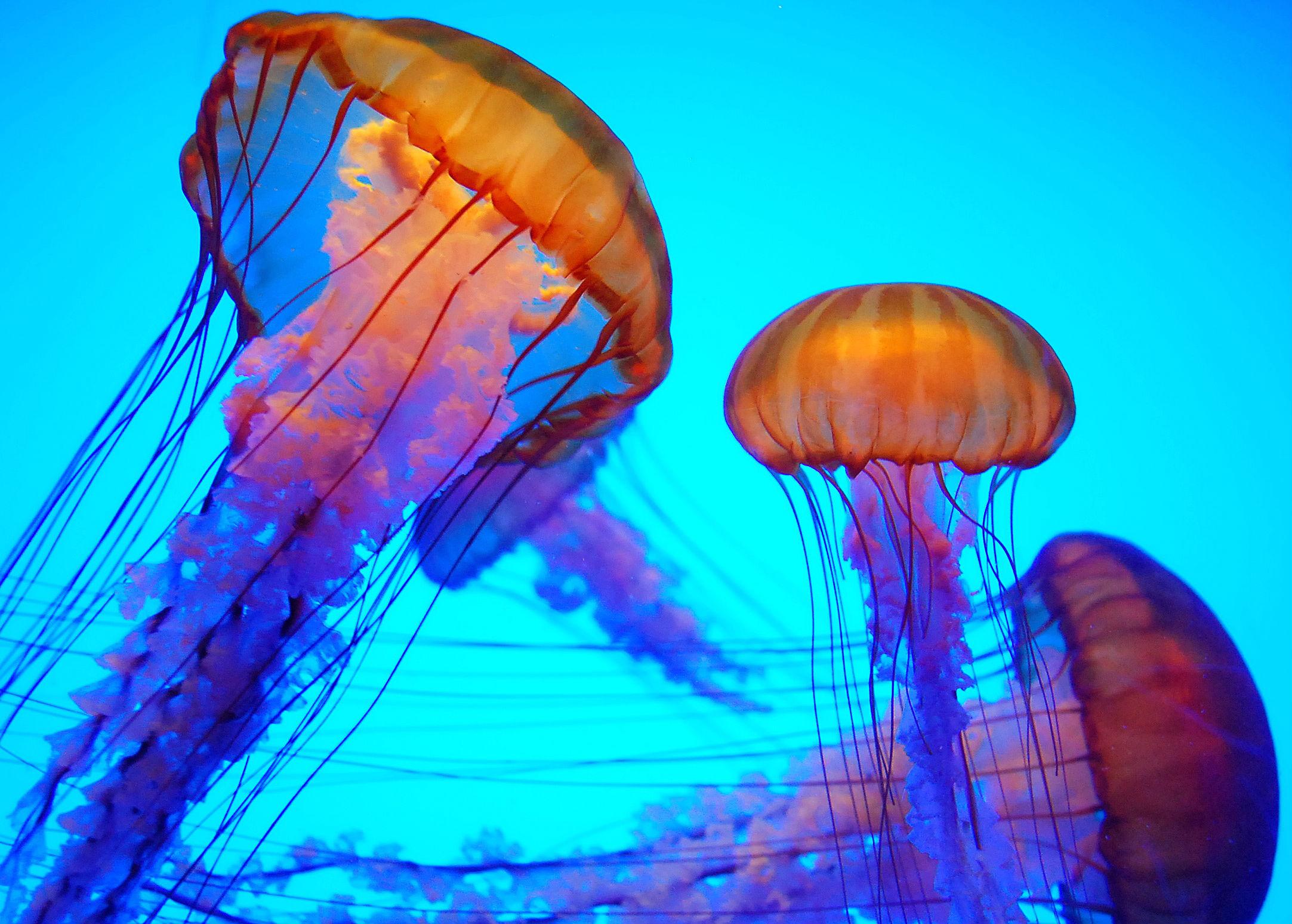 animal jellyfish wallpaper