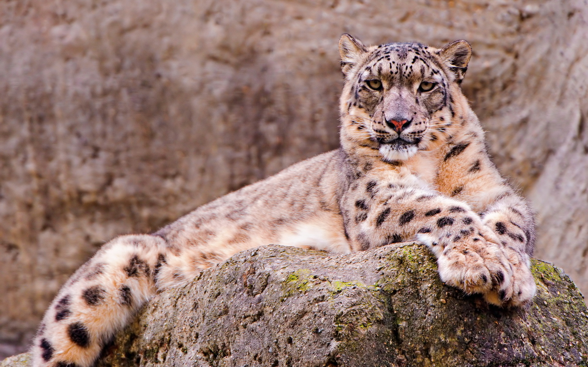 Snow Leopard Full HD Wallpaper And Background Image