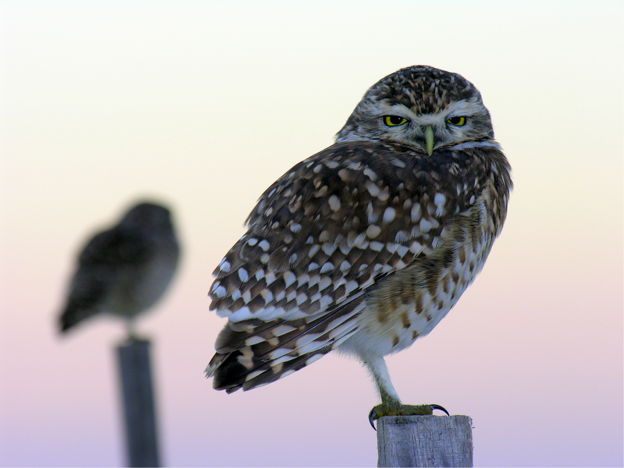 543 Owl HD Wallpapers | Backgrounds - Wallpaper Abyss ...