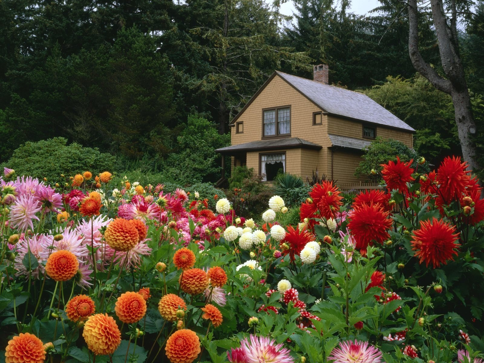 Man Made - Garden  Cottage Dahlia House Wallpaper