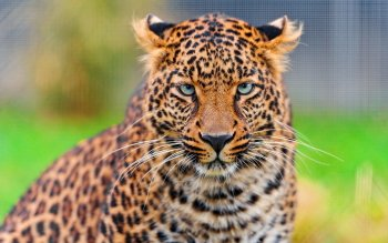 Animalia - Leopard Wallpapers and Backgrounds ID : 236451