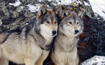 Animal - Wolf Wallpapers and Backgrounds ID : 237061