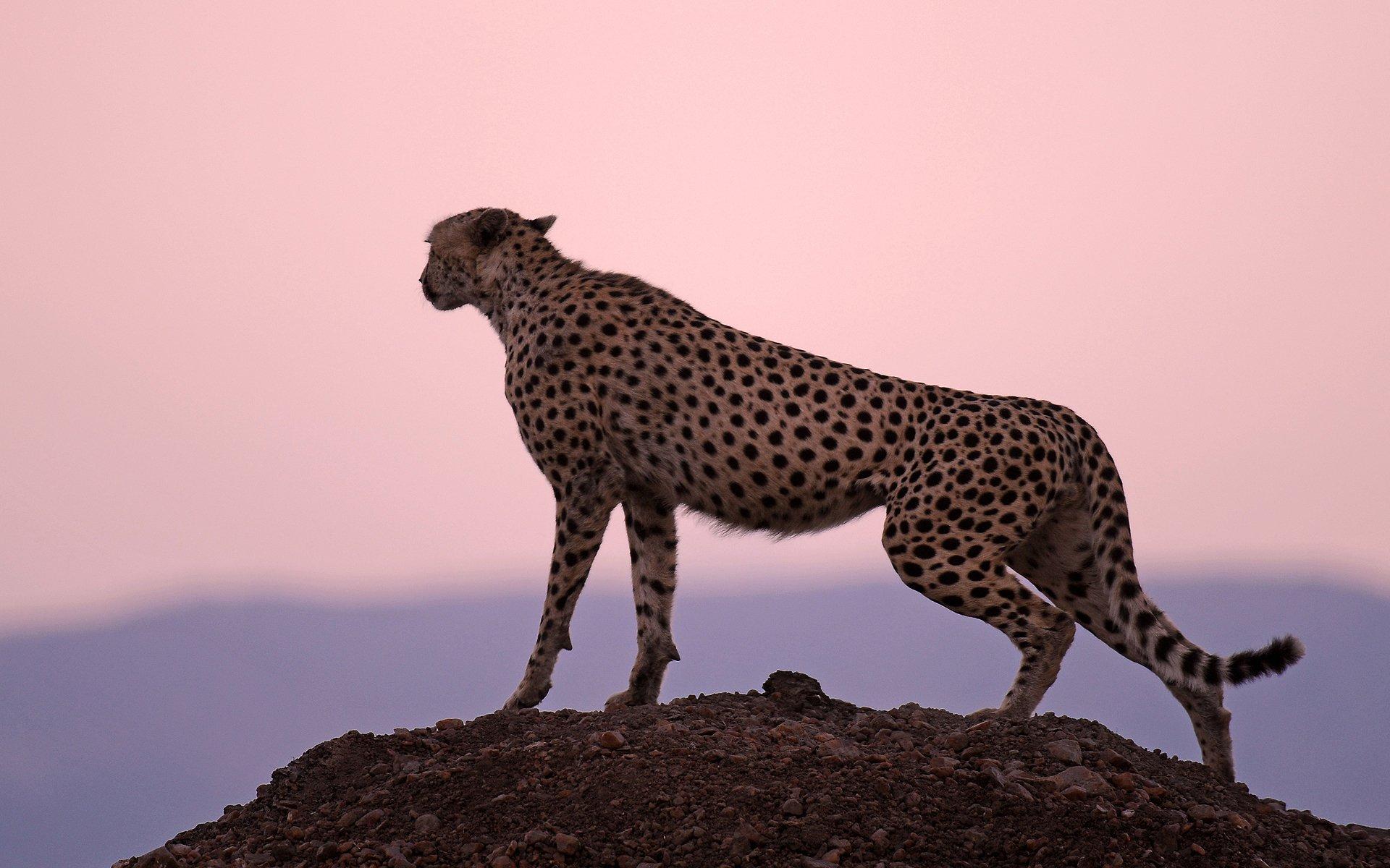 87 Cheetah HD Wallpapers