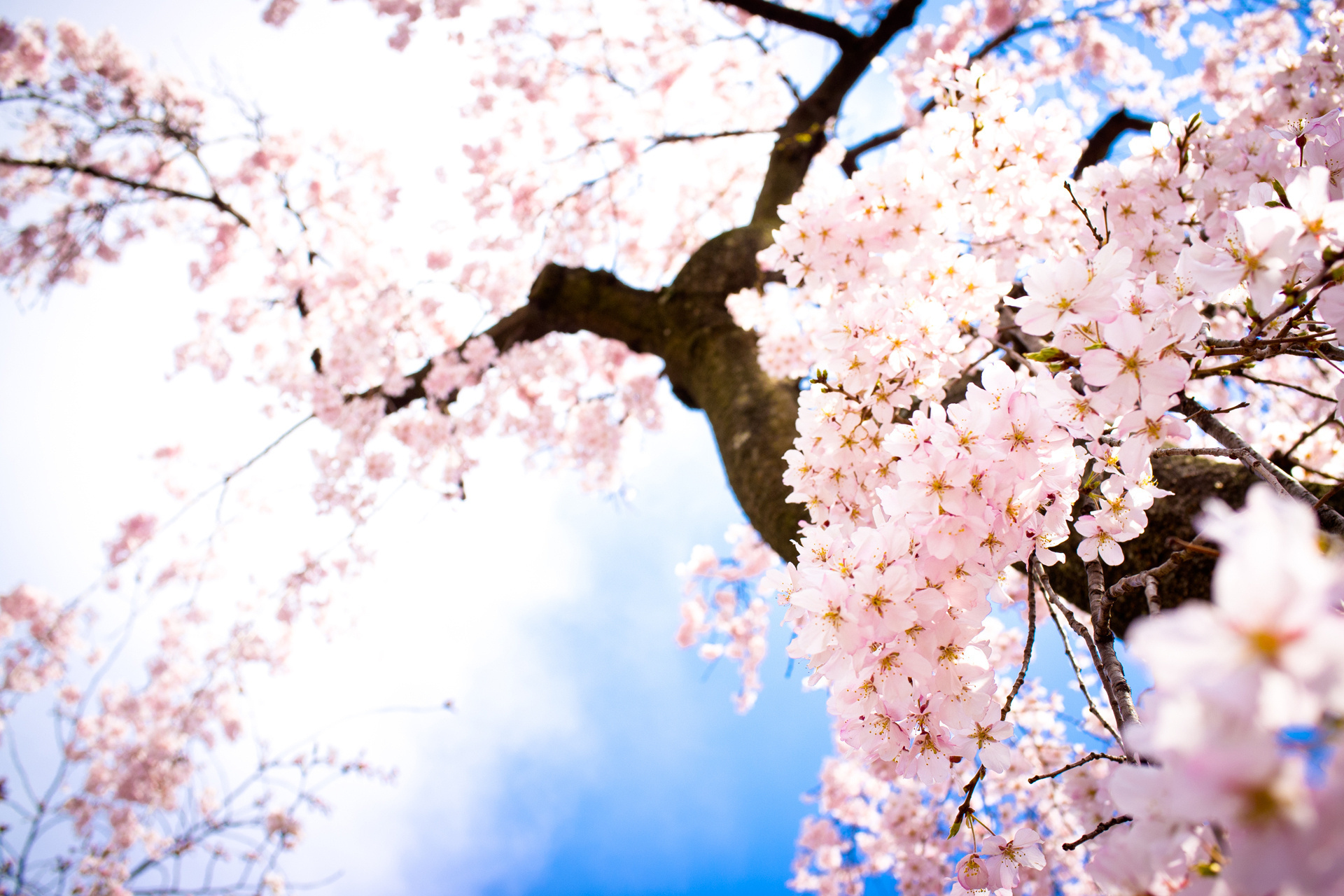 Earth - Blossom  - Tree - Flower Wallpaper