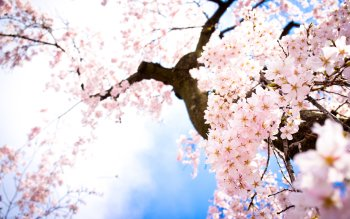 Tierra - Blossom Wallpapers and Backgrounds ID : 241271