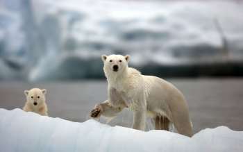 Animal - Polar Bear Wallpapers and Backgrounds ID : 241983