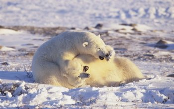 Animal - Polar Bear Wallpapers and Backgrounds ID : 241991