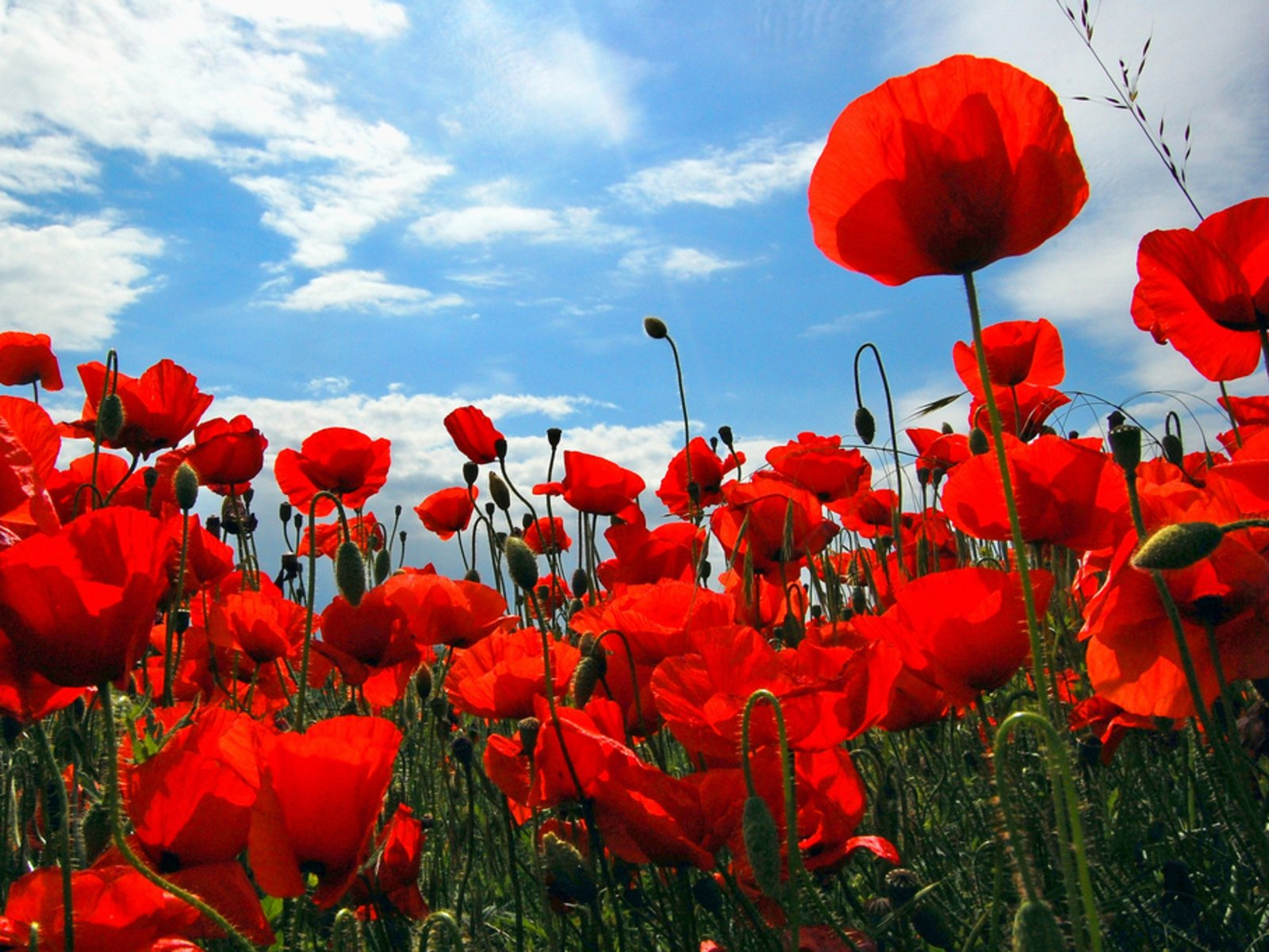 Poppy wallpaper and background image 1600x1200 id 245403 - Red flower desktop wallpaper ...