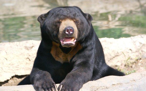 Animal Sun Bear Bears HD Wallpaper   Background Image